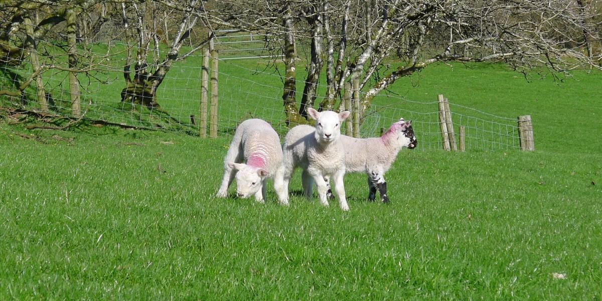 Lambs North Wales